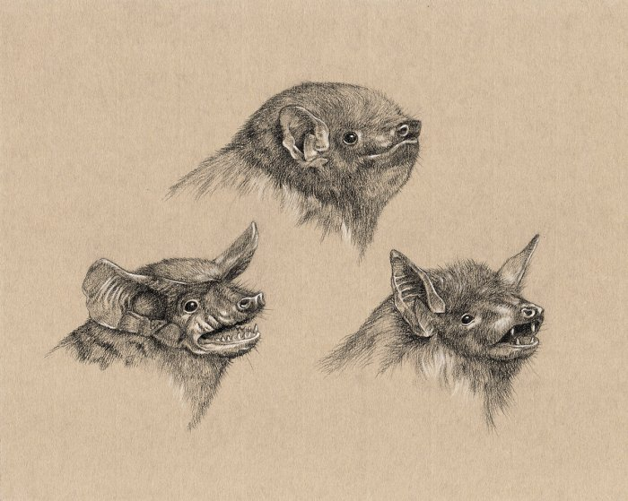 Mexican free-tailed bat, Eastern red bat, and Cave myotis - Illustration for Wunderkammer at SMO