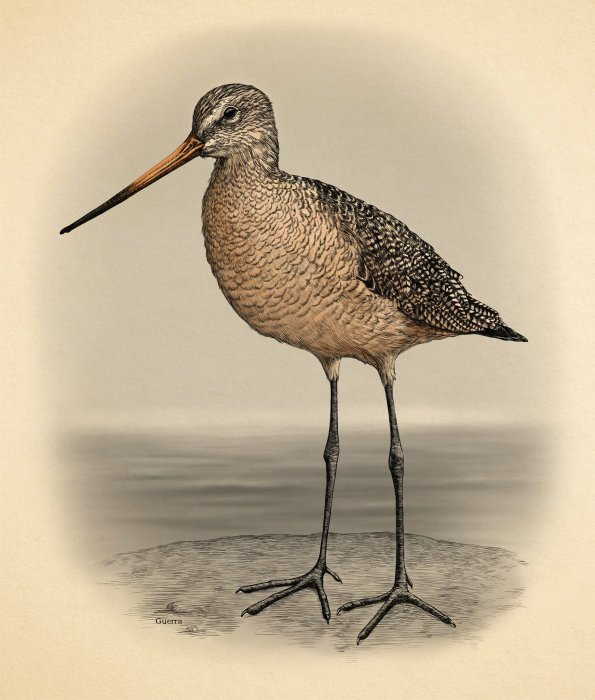 Godwit Days Illustration