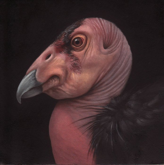 California Condor Head Study (Birds of California)
