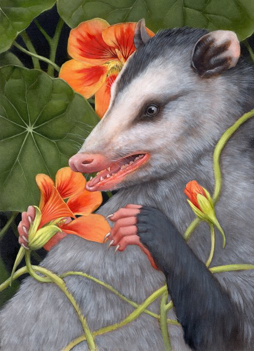 The Sniff (Nasturtium and Virginia opossum)